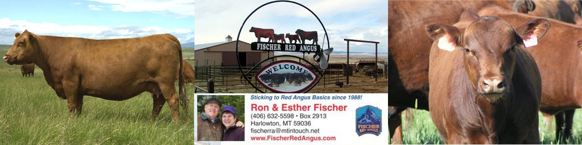 Fischer Red Angus Cattle