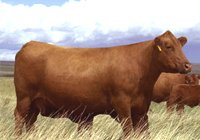 Red Angus Cattle Herd Info