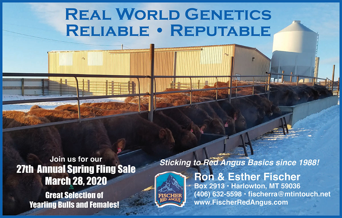 Fischer Red Angus Jan 2020 Montana Bull Sale