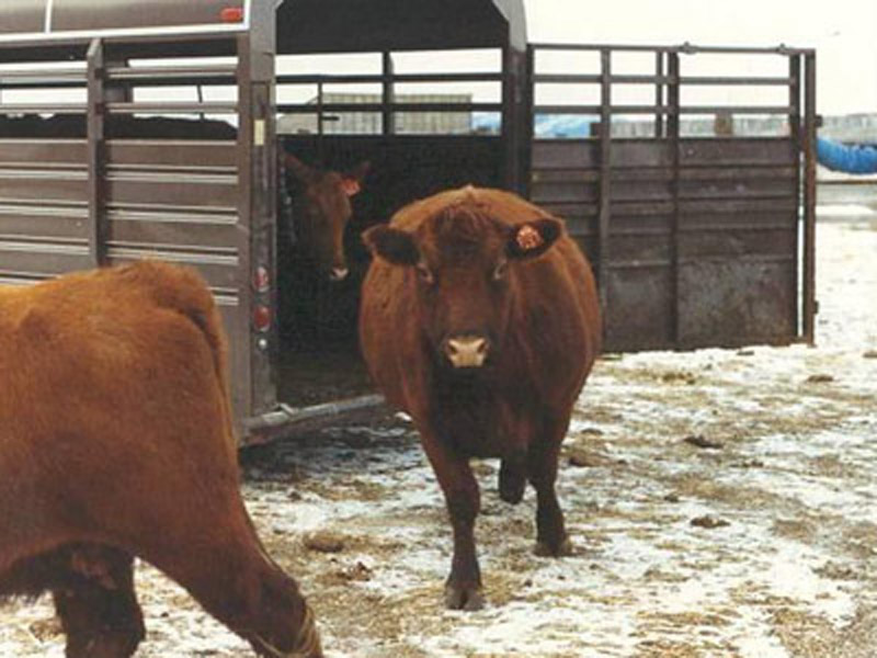 First Five Red Angus Cows