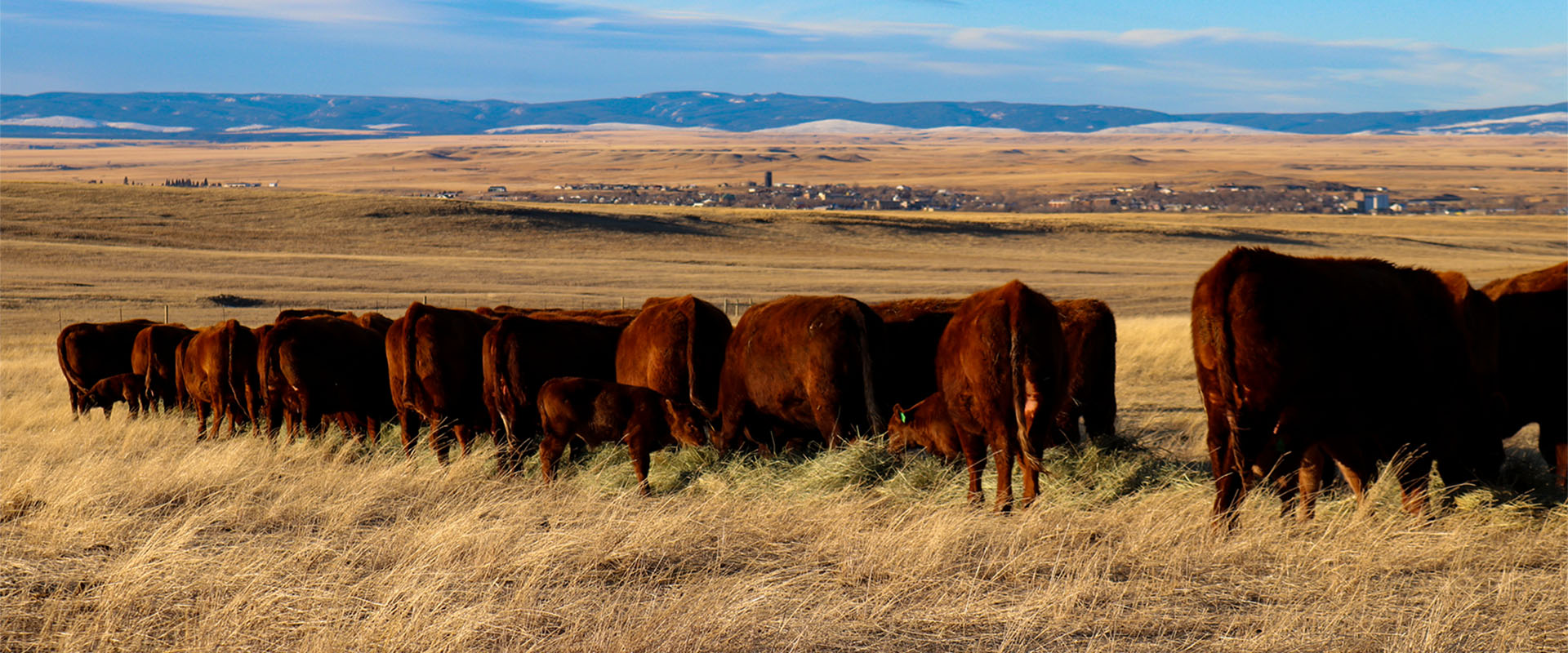 Montana Red Angus Cattle Feeding Hay Pasture